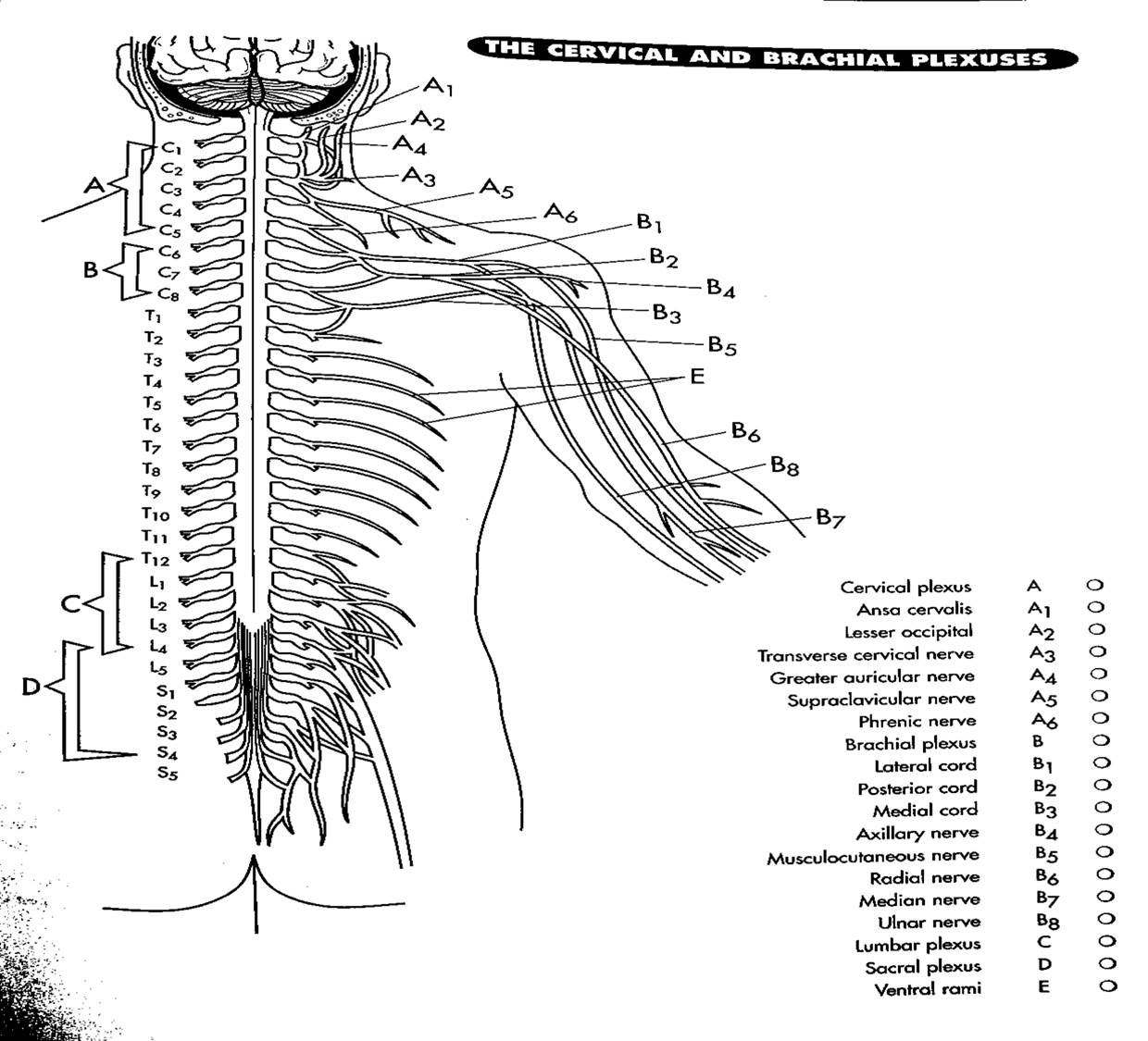 Nervous system miss l williams download file robcynllc Choice Image